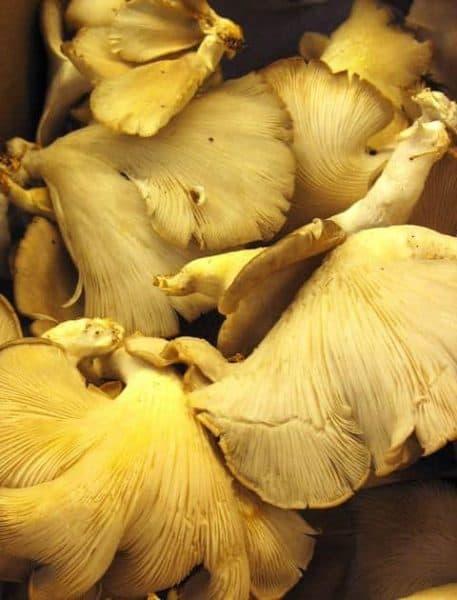 jungle jims oyster mushrooms