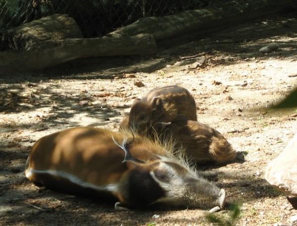 cincinnati zoo babies