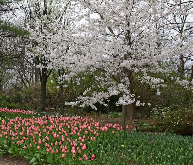 dogwoods blooming at the cincinnati zoo
