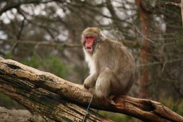 baboon cincinnati zoo