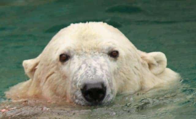 polar bear face cincinnati zoo