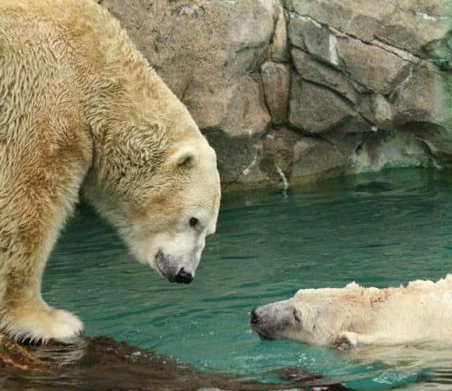 polar bears cincinnat zoo