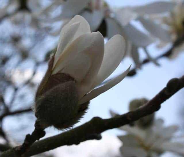 ault park magnolia blooms