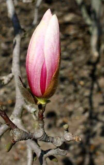 ault park cincinnati magnolia blooms
