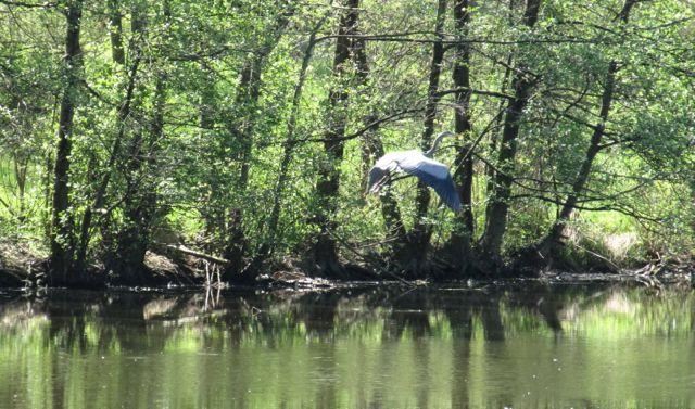 blue heron at Sharon Woods