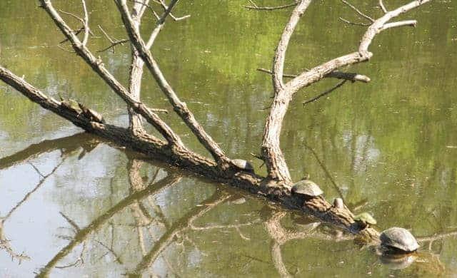 turtles at sharon woods lake