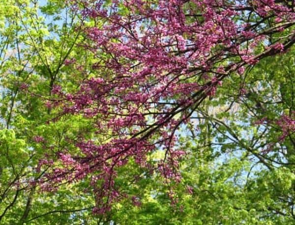 redbuds blooming at sharon woods