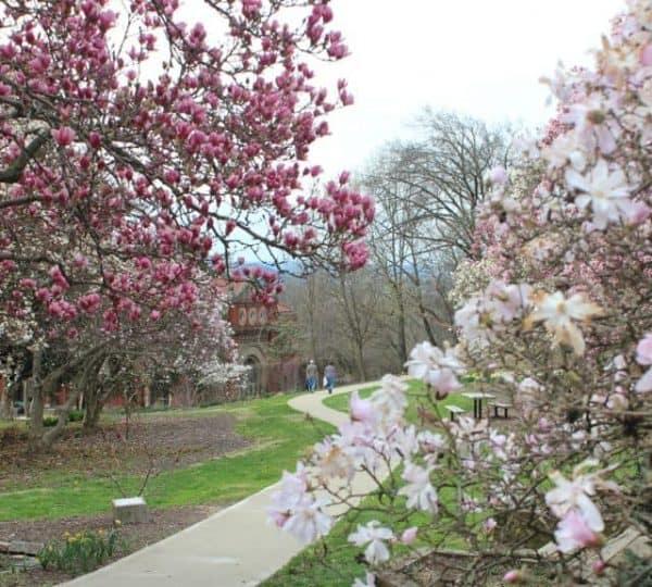 Flowering magnolias at Eden Park, close to the Krohn Conservatory in Cincinnati Ohio