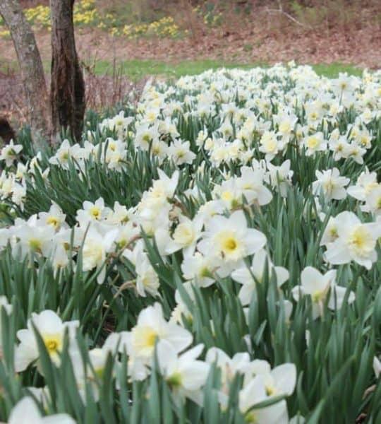Daffodils at Eden Park in Cincinnati