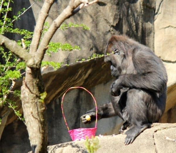 finding Easter eggs at the Cincinnati Zoo