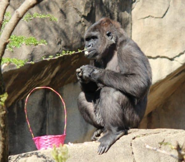 Easter treats at Gorilla World, Cincinnati Zoo