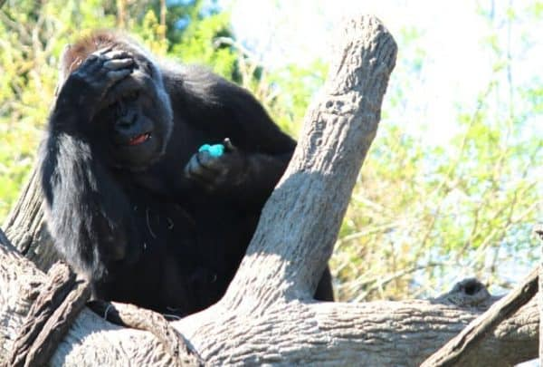 What? Another blue egg? Gorilla World gets an Easter Egg Hunt at the Cincinnati Zoo