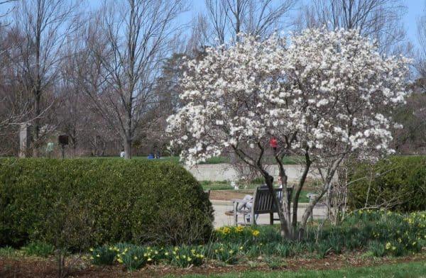 Magnolia Blooms at Ault Park in Cincinnati