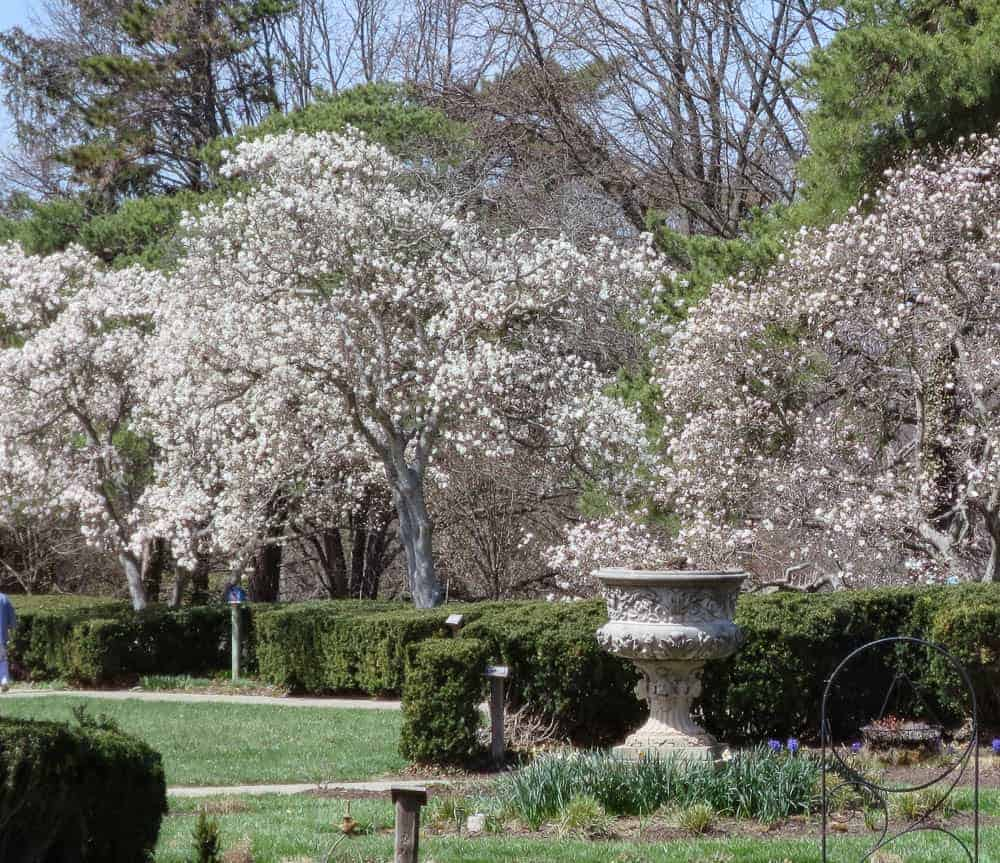 Magnolia Blooms at Ault Park
