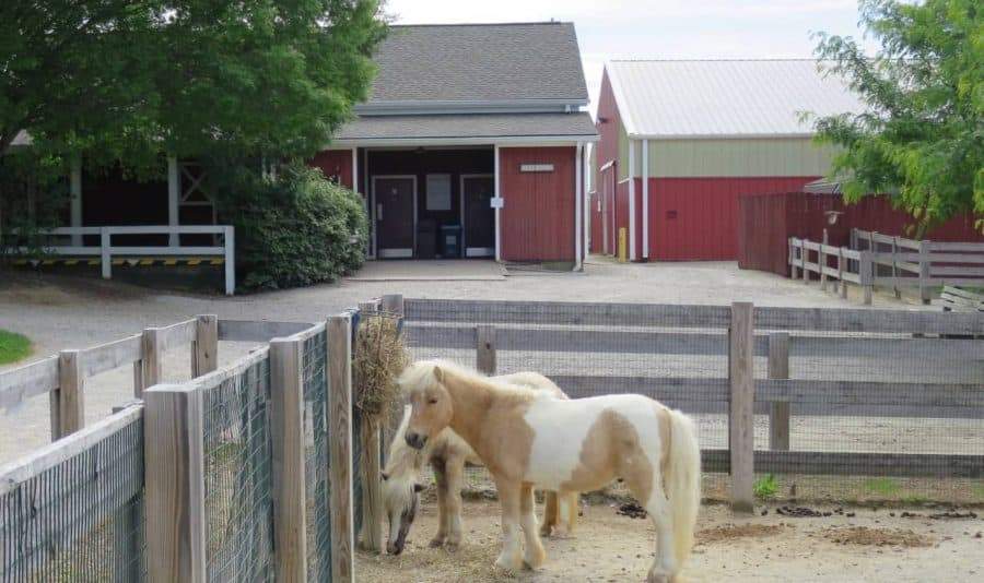 small ponies at Parky's Farm at Winton Woods