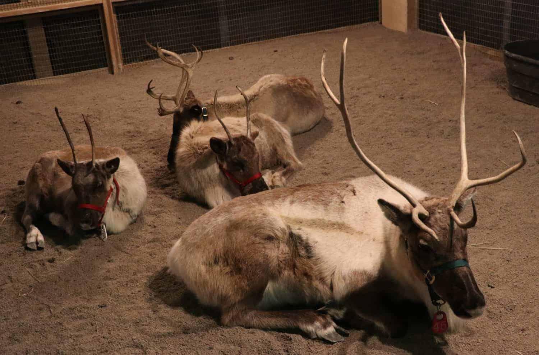 Reindeer at the Cincinnati Zoo Festival of Lights