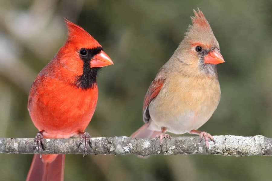 Birdwatching, cardinals on a branch