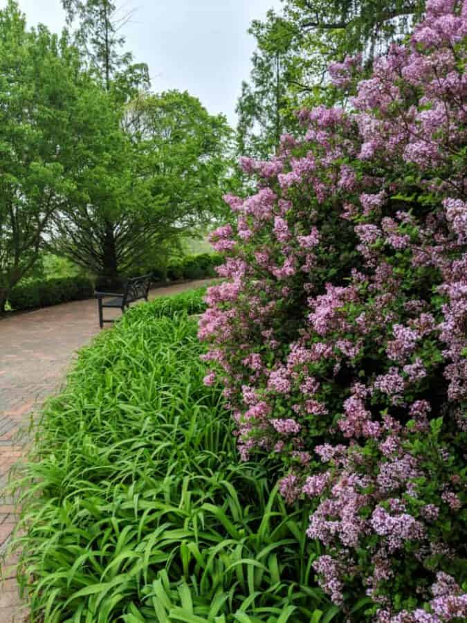 Lilacs in full bloom at Glenwood Gardens