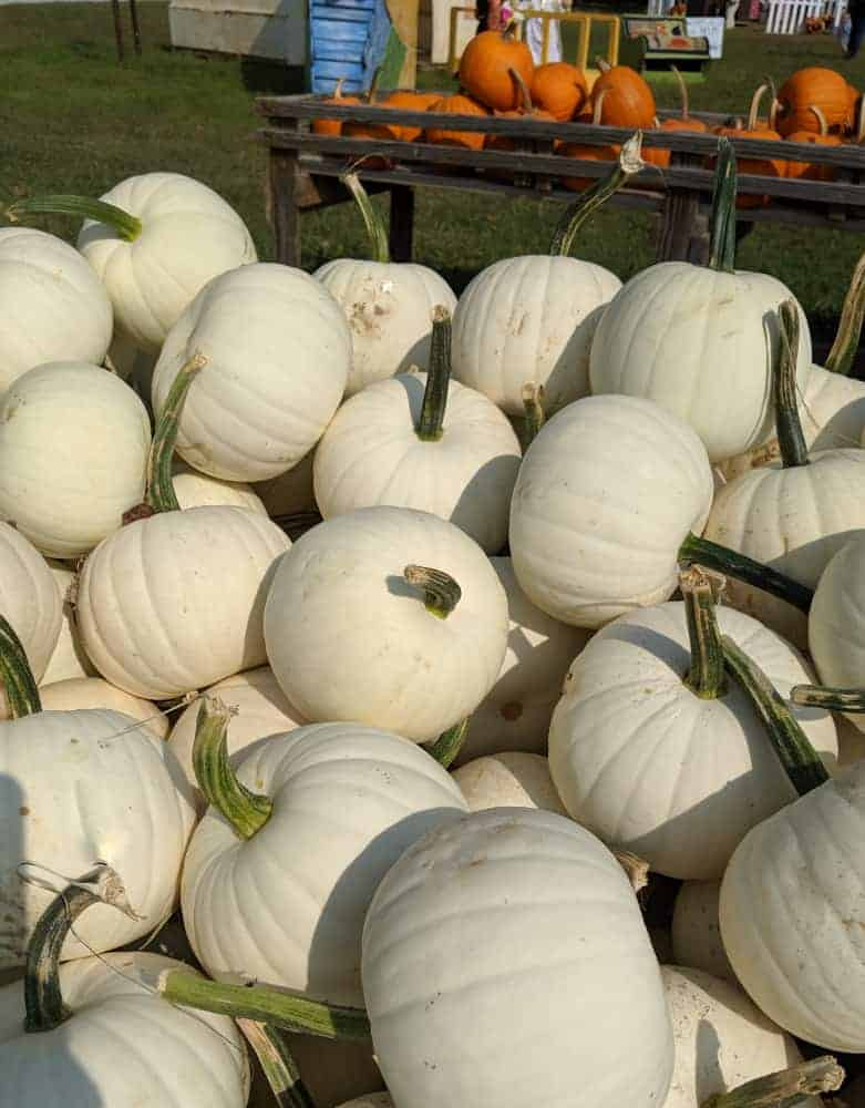White Pumpkins at Shaw Farms