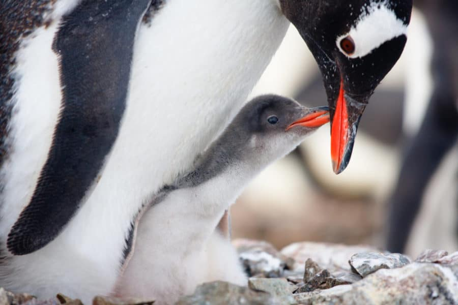 Cincinnati Zoo's Penguin Days begin on Sunday