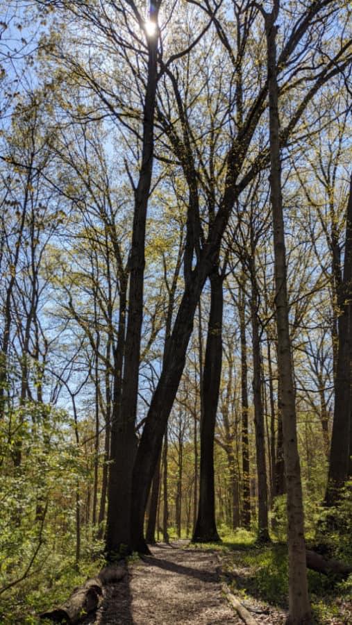 tall spring trees at Caldwell