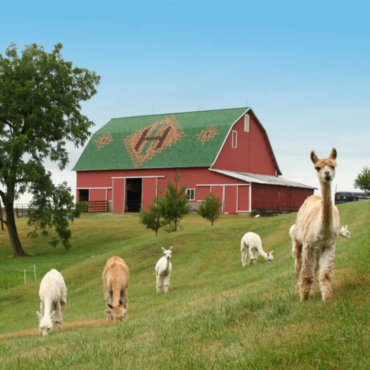 the alpacas at Heritage Farm