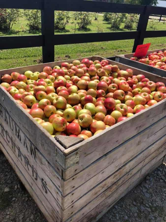Loads of apples in crates at Hidden Valley Orchards