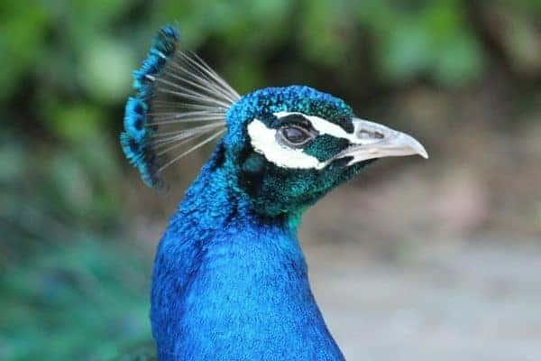 Peacock at the Cincinnati Zoo