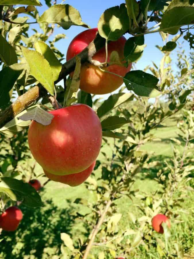 Karnes Orchard, a seventh generation apple farm