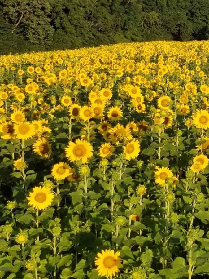 Sunflowers in the field at Monnin's Fruit Farm