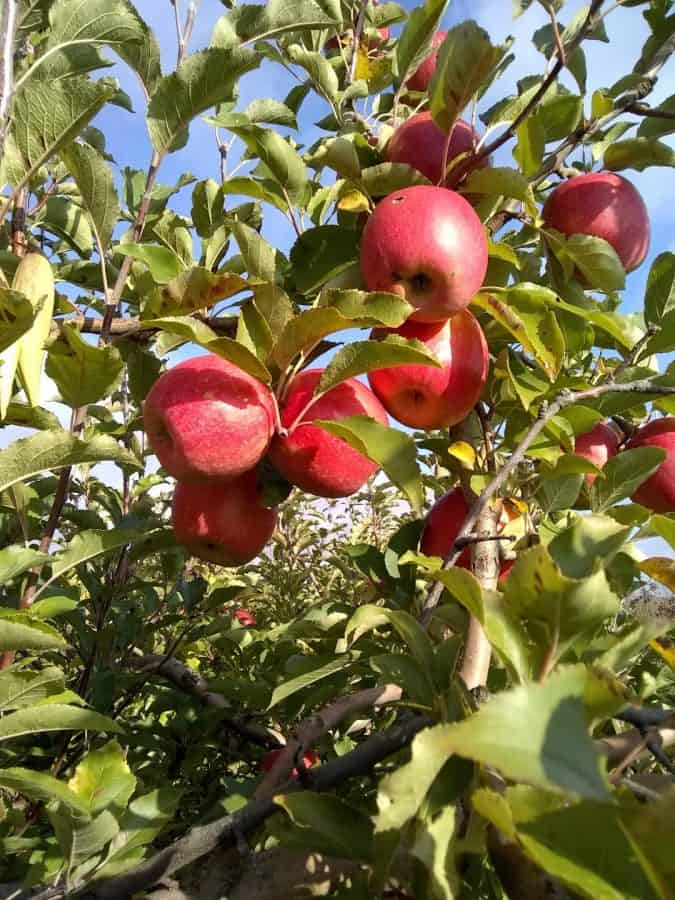 Apples in the trees at Tuken's Orchard and Farm Market