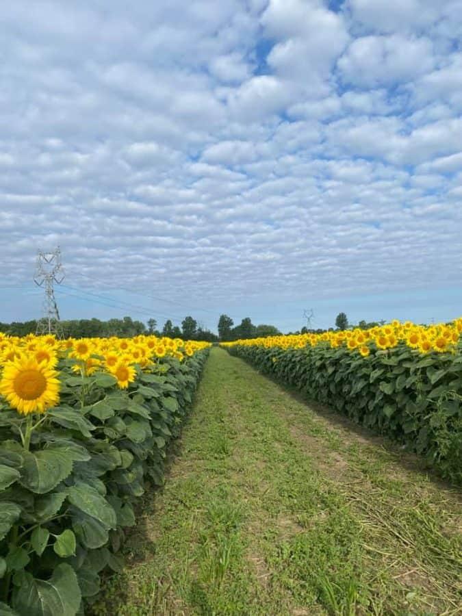 the sunflower fields at Hendren Farm Market