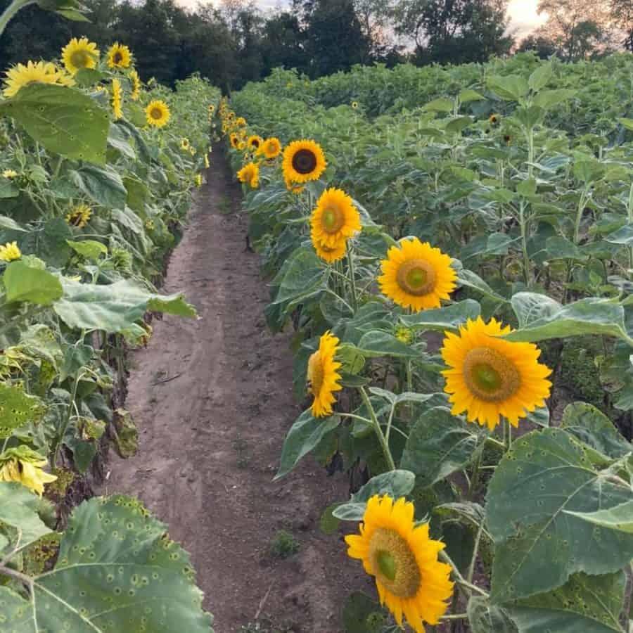 Sunflower field Ohio Coshocton Sunflower Festival Ohio