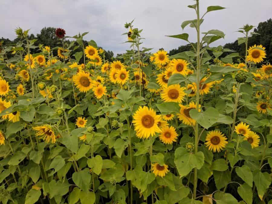 Sunflower field Ohio Maize Valley Sunflower Festival Ohio