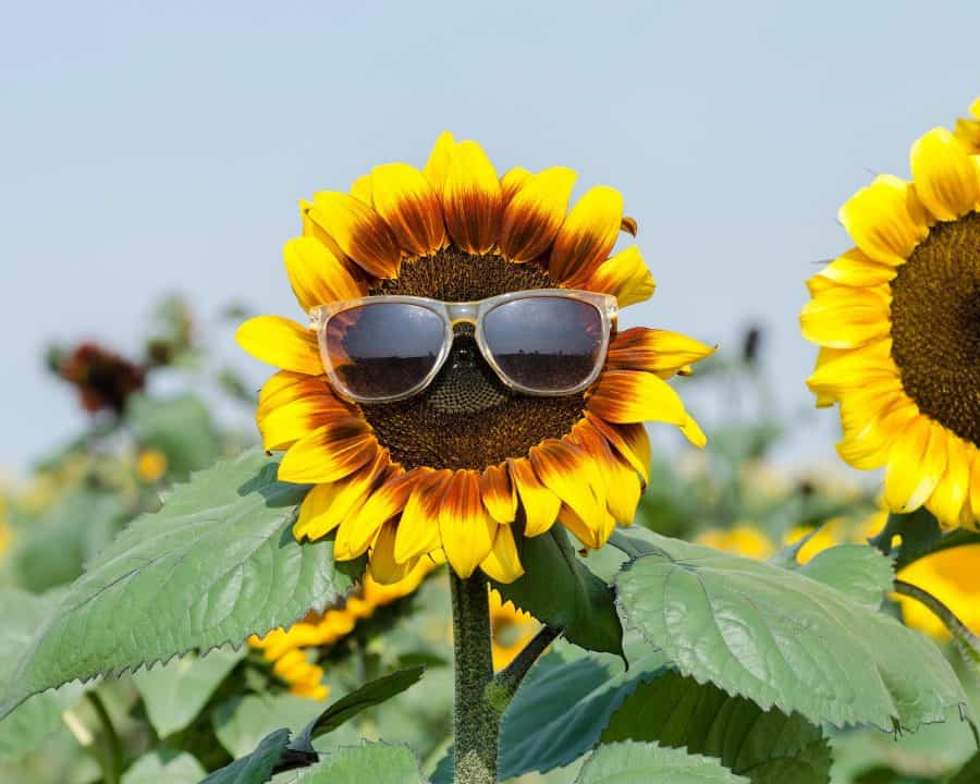 Sunflower field Ohio Ramseyer Farms Sunflower Festival Ohio