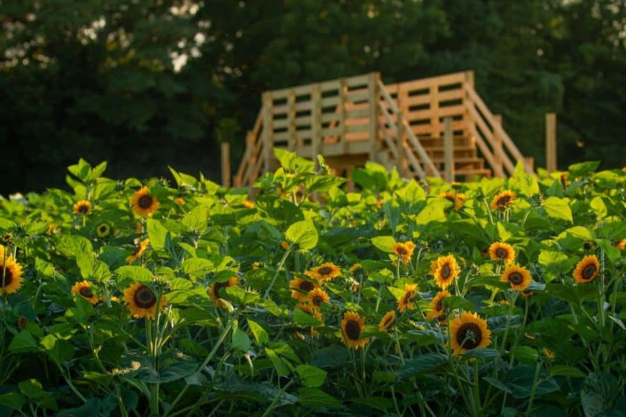 sunflower field Ohio Lynd Fruit Farm