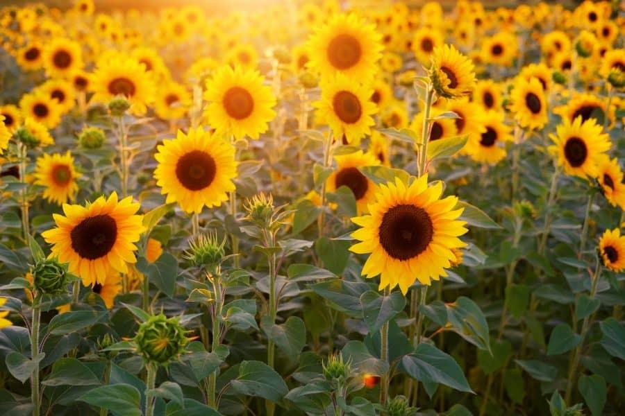 Sunflower field Ohio Tecumseh Land Trust