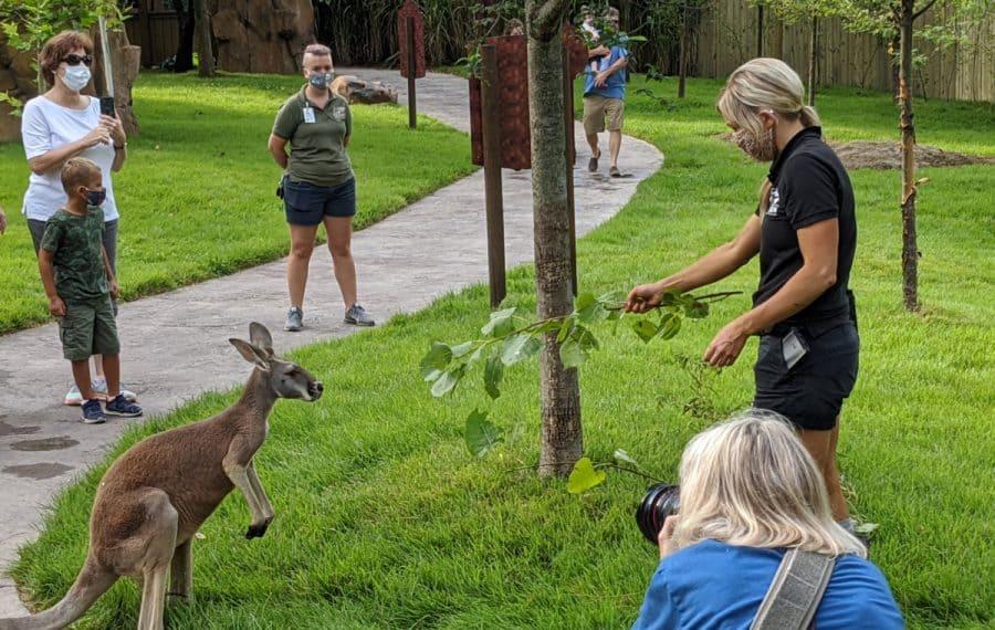 Feeding the kangaroo at The Cincinnati Zoo