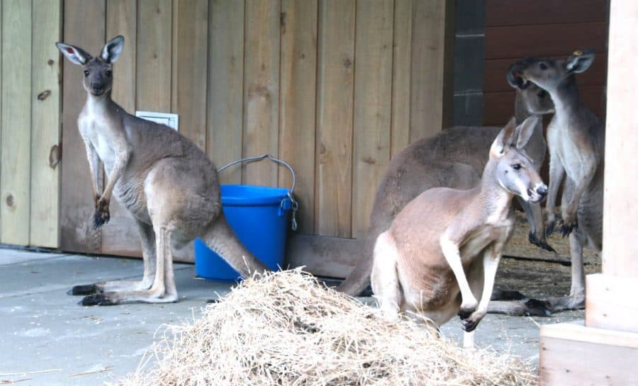 kangaroos at the Cincinnati Zoo