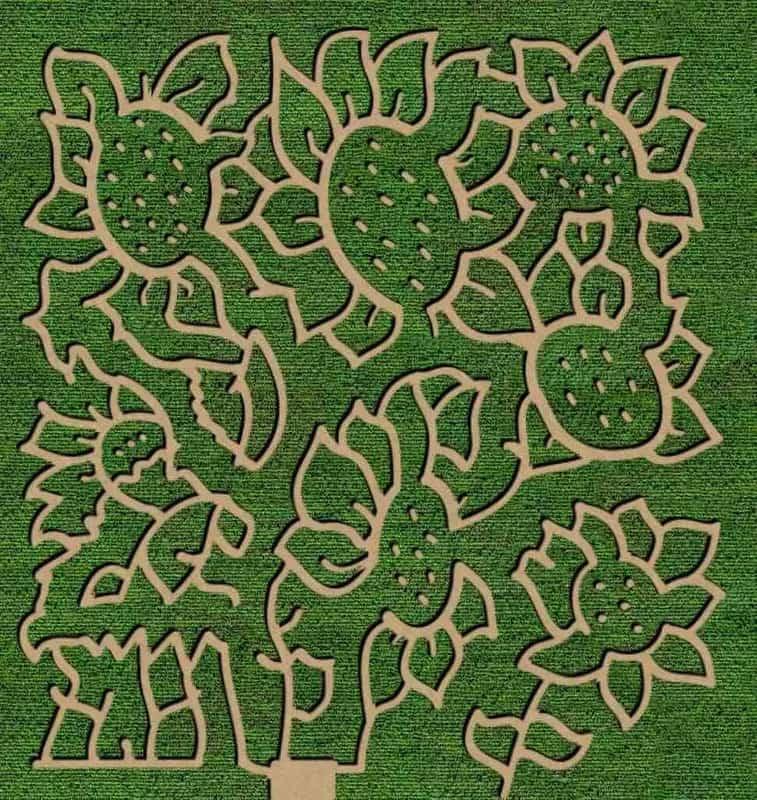 sunflowers galore at Niederman Family Farm