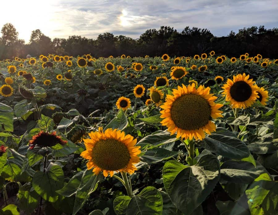 Sunflower fields at Blooms and Berries