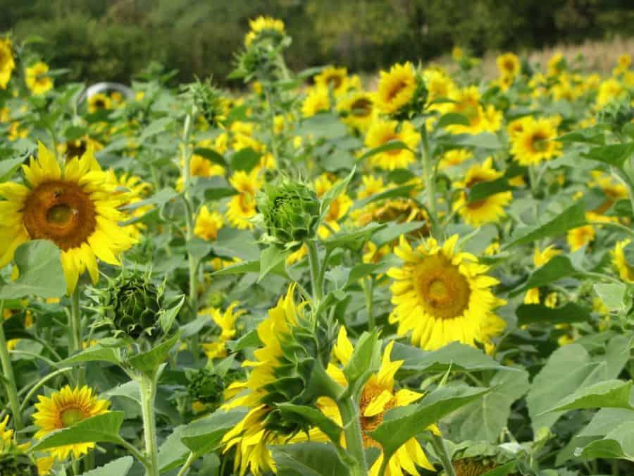 Sunflowers at Gorman Farm