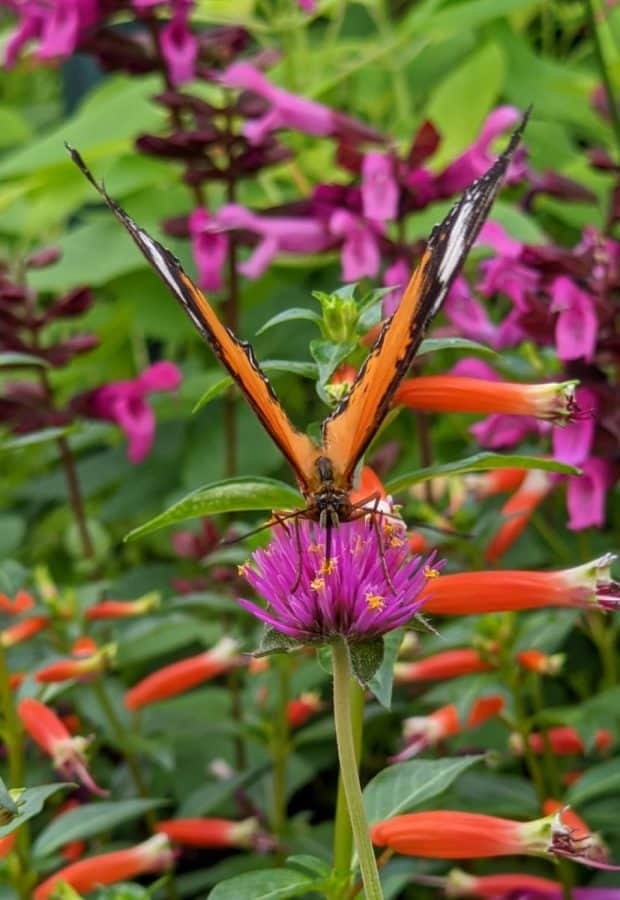 Orange butterfly on a pink flower at The Krohn Conservatory