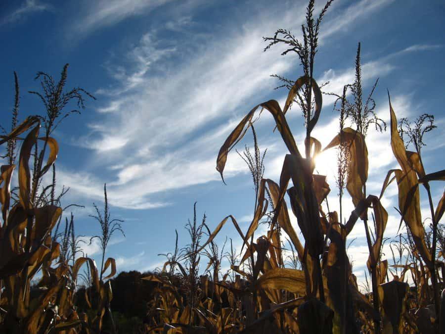 Corn stalks at Kinman Farms