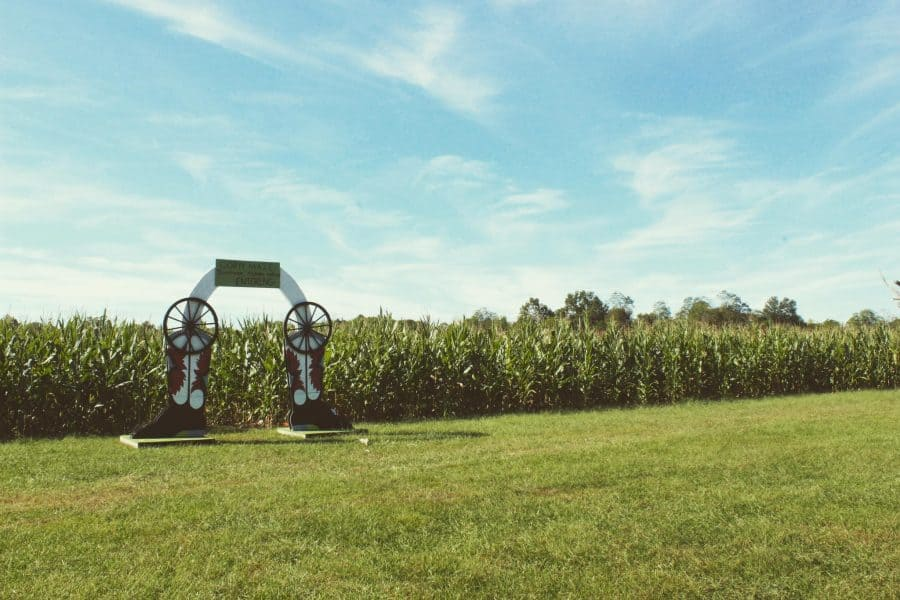 Looking into the corn field at Shaw Farm